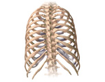 Skeletal System: The Ribcage, Posterior View