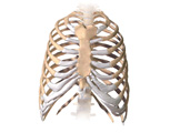 Skeletal System: The Ribcage, Anterior View
