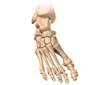 Skeletal System: Anterior View of the Right Leg & Foot