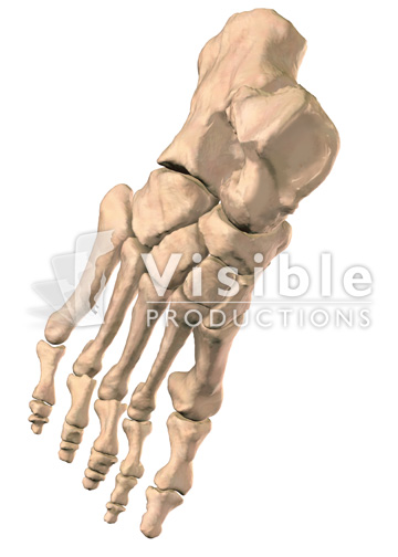 Skeletal System: The Foot, Dorsal View
