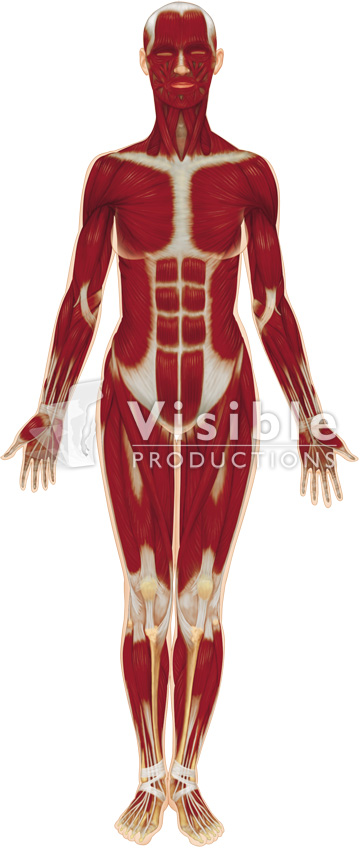 Muscular System: The Full Body, Anterior View