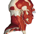 Muscular System: The Head & Neck, Lateral View