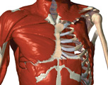 Muscular System: The Thorax, Anterior View