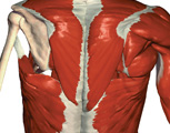 Muscular System: The Thorax, Posterior View