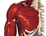 Muscular System: Anterior View of Right Shoulder & Arm