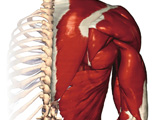 Muscular System: Posterior View of Right Shoulder & Arm