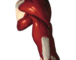 Muscular System: Posterior View of Shoulder & Arm