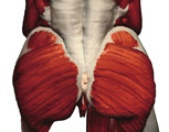 Muscular System: Posterior View of the Muscles of the Pelvis & Thigh