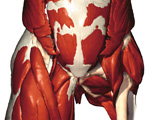 Muscular System: Anterior View of the Muscles of the Pelvis & Thigh
