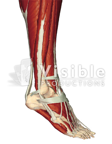 Muscular System: Lateral View of the Right Foot