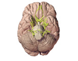 Nervous System: The Brain, Ventral View