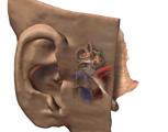 Nervous System: The Ear, Oblique View