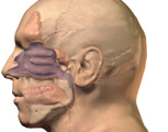 Nervous System: The Nose, Lateral View