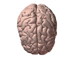 Nervous System: The Brain, Superior View