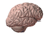 Nervous System: The Brain, Lateral View