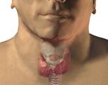 Endocrine System: The Thyroid & Parathyroids, Anterior View