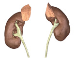Endocrine System: The Adrenal Glands, Anterior View