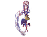 Circulatory System: Cardiovascular System - Anterior View of the Heart and the Main Arteries