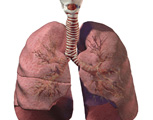 Respirartory System: The Lungs, Anterior View
