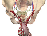 Reproductive System: Male, Anterior View