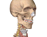 The Head & Neck: Skull & Neck with Muscles and Blood Vessels Removed, Anterolateral View