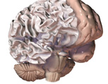 The Head & Neck: The Brain with the Cerebral Cortex Removed from the Cerebellum, Lateral View