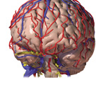 The Head & Neck: The Brain, Anterolateral View