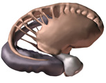 The Head & Neck: The Brain, Anterolateral View of the Basal Nuclei - Caudate Nucleus and Lentiform N