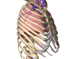 The Thorax: The Thorax with Ribcage Visible, Anterolateral View