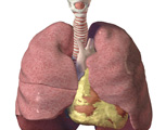 The Thorax: The Lungs, Anterior View