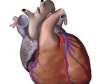The Thorax: The Heart with Fatty Tissue Removed, Anterior View