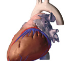 The Thorax: The Heart, Lateral View from Left Side