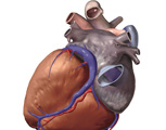 The Thorax: The Heart with the Superior and Inferior Vena Cava Removed, Posterior View