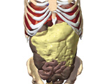 The Abdomen: Anterior View of the Abdomen with Abdominal Musculature Removed