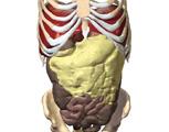 The Abdomen: Anterior View of the Abdomen with Abdominal Musculature Removed