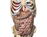The Abdomen: The Abdomen, Anterior View