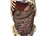 The Abdomen: Anterior View of the Upper Section of the Abdomen