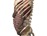 The Abdomen: Lateral View of the Abdomen Showing the Spleen and Kidneys