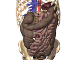 The Abdomen: Anterior View of the Abdomen with the Liver, Stomach, Spleen, and Small Intestine Remov