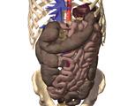 The Abdomen: Anterior View of the Abdomen with the Liver, Stomach, Spleen, and Small Intestine Remov