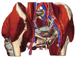 The Pelvis: Female Pelvis with Skin and Superficial Muscles Removed, Anterolateral View
