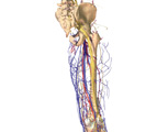 The Lower Limb: Posterior View of the Right Leg Showing the Bones and the Main Arteries and Veins