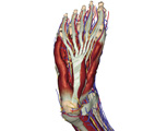 The Lower Limb: Plantar View of the Foot