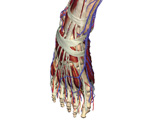 The Lower Limb: Dorsal View of the Right Foot