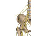 Nervous System: The Lumbar Plexus