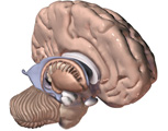 The Brain: Oblique View of Half the Brain