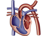 The Heart: Diagrammatic View of the Heartbeat - Atrial Systole