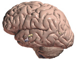 Endocrine System: Lateral View of the Brain, with Hypothalamus and Pituitary Gland Visible