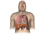 Respiratory System: Male Body, Anterior View