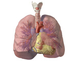 Respiratory System: Anterior View of the Lungs